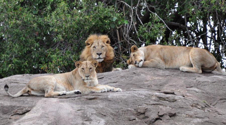 Zoo di Napoli, Tigri e leoni